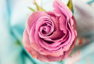 rose, flower, petal