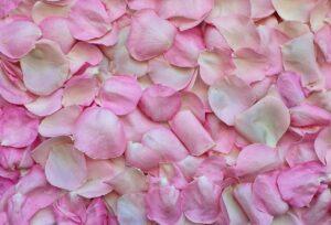 rose petals, pink, background