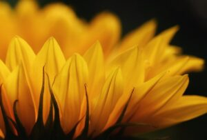 sunflower, blossom, bloom